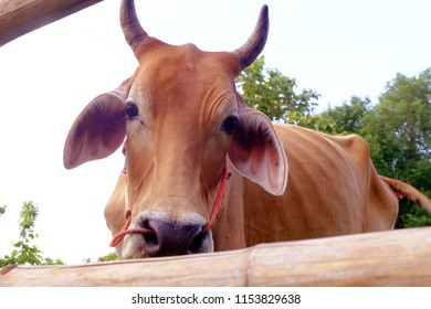Cows in Asian farm, image 11