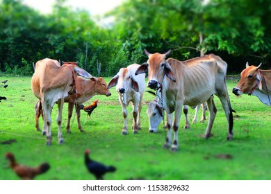 Cows in Asian farm, image 12