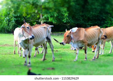 Cows in Asian farm, image 13