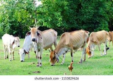 Cows in Asian farm, image 14