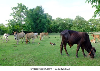 Cows in Asian farm, image 15
