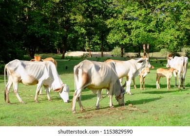 Cows in Asian farm, image 2