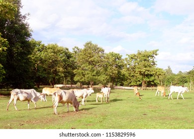 Cows in Asian farm, image 3