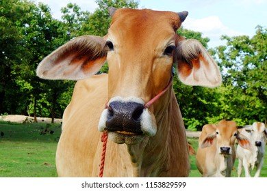 Cows in Asian farm, image 5