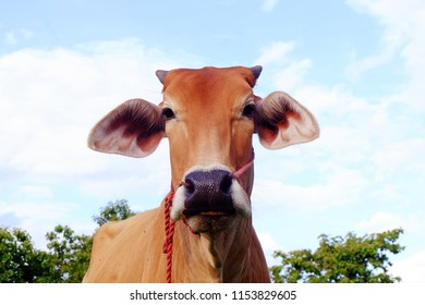 Cows in Asian farm, image 6