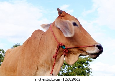 Cows in Asian farm, image 7