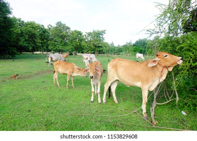 Cows in Asian farm, image 8