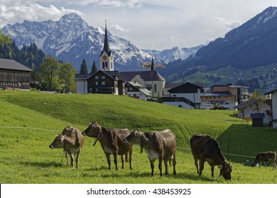 cows in the austrian alps: Kleinwalsertal