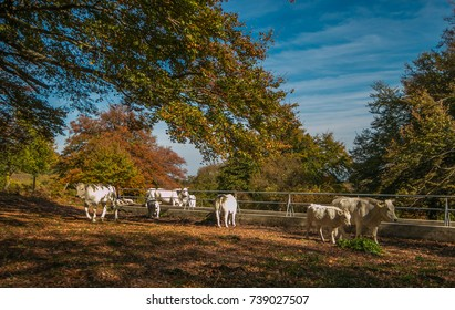 Cows in the autumn beech forest