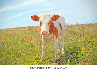 cows baby grazing on a meadow