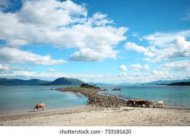 Cows in the beach