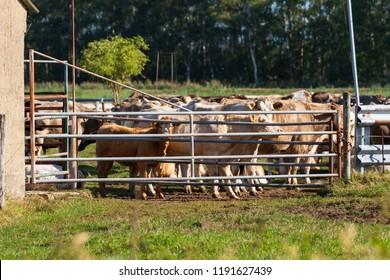 Cows behind a gate