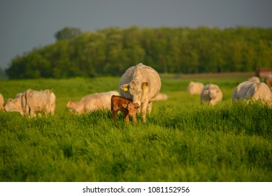 Cows and calf on the pasture
