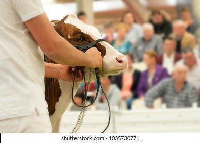 cows calves auction ,  cattle in sale with public
