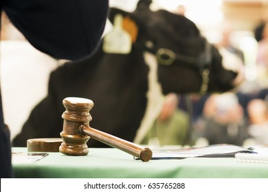 cows calves auction ,  livestock cattle in sale with public
