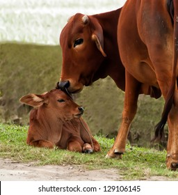 Cows can show affection by licking the calf's forehead