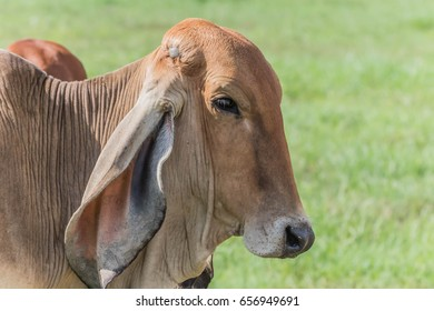 Cows, cattle are animals with hooves are large pets are the most common. A modern outstanding in the subfamily Bovinae is the most widespread species in the genus Bos.