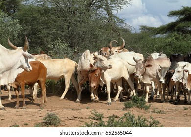 Cows and cattle in the Omo Valley of Ethiopia