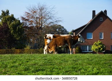 cows in the countryside background