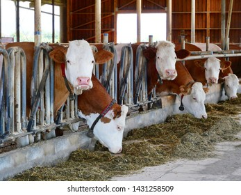 cows-cowshed-eating-grass-260nw-14312585