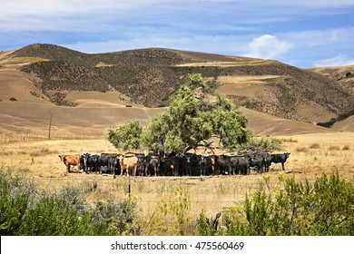 Cows crowding under tree to stay in shade.