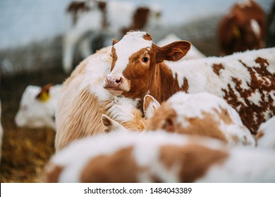 Cows in the diary farm, agriculture industry, farming