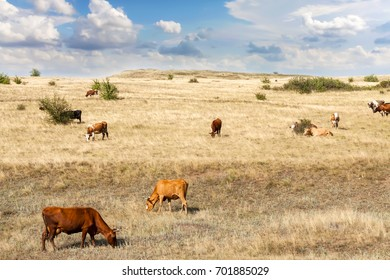 Cows of different breeds are grazing on the field with yellow dry grass under a blue sky with clouds