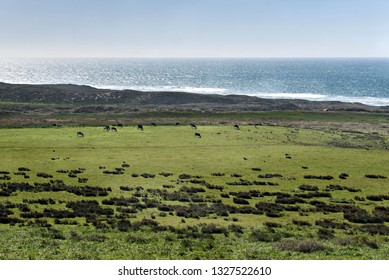Cows Dot the Landscape in Pt. Reyes National Seashore