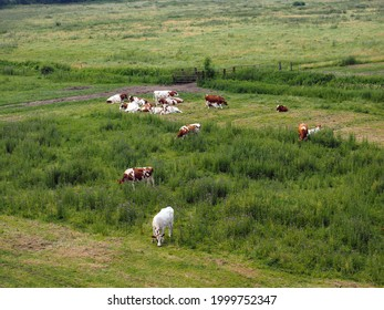 Cows in a Dutch meadow along the river the Waal, Gelderland, Netherlands