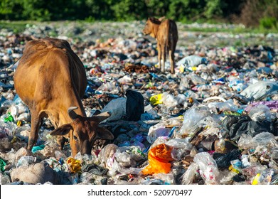 Cows eat food on a garbage dump.
