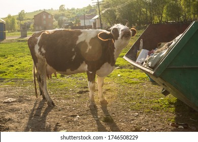 cows eat garbage in the trash can