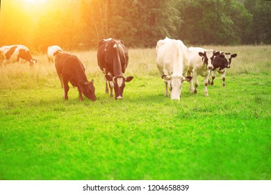 Cows eat grass in the meadow to give fresh milk. Pets graze in the field.