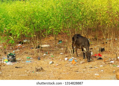 Cows eat out of the trash in India. Garbage problem. India, Gokarna, February 13, 2019.