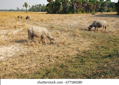 Cows eating dry grass at the field outside Siem Reap, Cambodia.