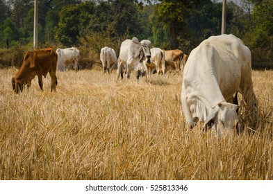 Cows eating dry hay in the field at harvest time ago, in the countryside.