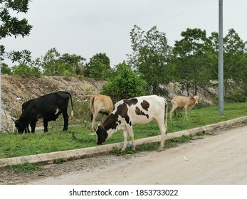 Cows eating grass by a roadside