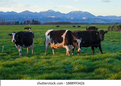 cows eating grass in the field