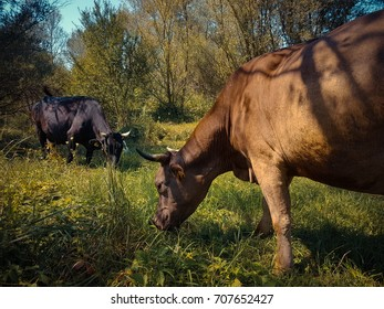Cows eating grass on a fresh meadow on a sunny day.