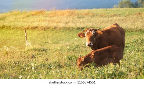 Cows eating grass on a meadow on an Eco farm in nature in the summer.