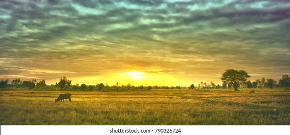The cows are eating grass for pleasure in the fields at sunrise and the beautiful sky.