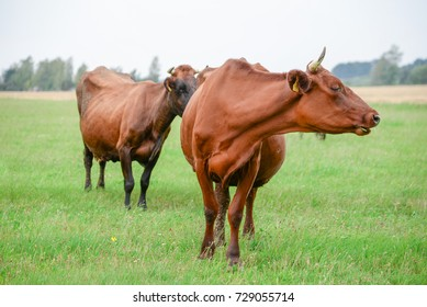 Cows eating green grass in meadow at countryside in the middle of summer