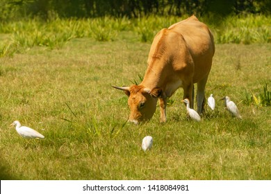 cows and egrets in the meadow