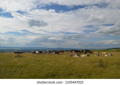 Cows in an English Cotswalds landscape