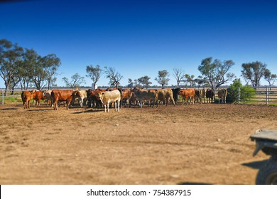 Cows exiting cattle crush to rejoin herd, Outback Australia