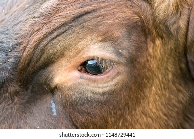 Cow's eye with tears, close up of a cow's eye with long lashes and crying or weeping eye duct.  Scientific name: Bovine.  Horizontal.