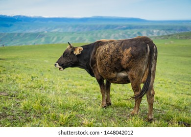 Cows Farm in the Green grassland and snow mountain background