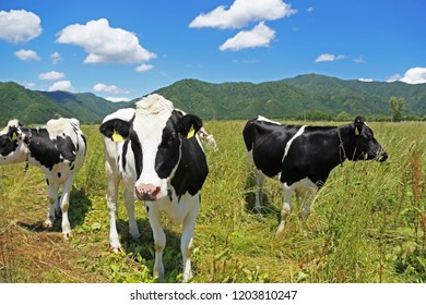Cows in farmland.