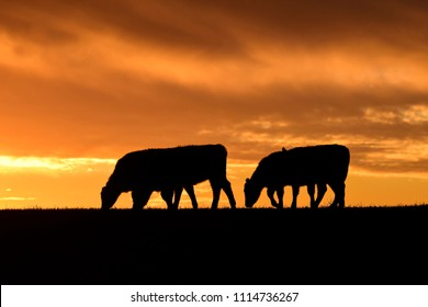 Cows fed  grass, in countryside, Pampas, Patagonia,Argentina