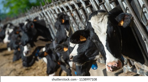 Cows feeding in large cowshed, France