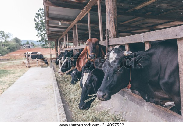 Cows feeding in old cowshed